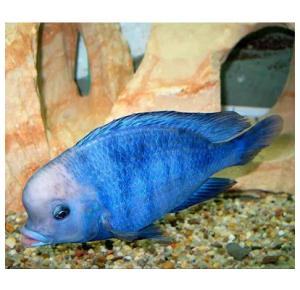 Haplochromis Moorii Golfinho