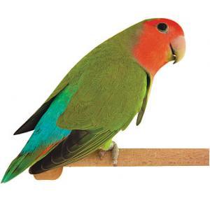 Pássaro Agapornis Roseicollis Verde