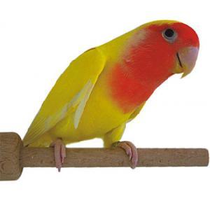 Pássaro Agapornis Roseicollis Lutino