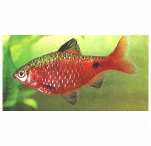 Peixe Barbus Conchônio