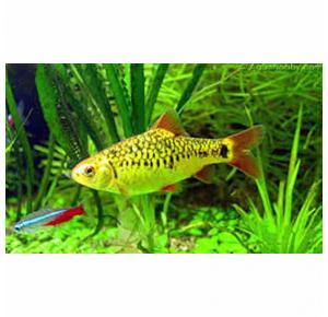 Peixe Barbus Ouro