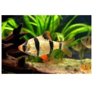 Peixe Barbus Sumatra