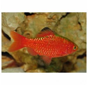 Peixe Barbus Cereja