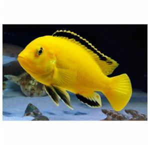 Peixe Labidochrimis Yellow
