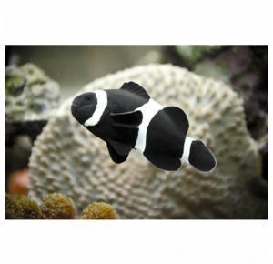 Peixe Palhaço Black Amphiprion