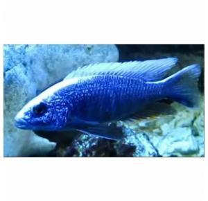 Haplochromis Eletric Blue Iceberg