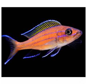 Paraciprichromis Nigripinnis Blue Neon