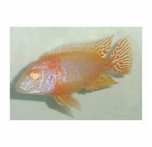 Peixe Aulonocara Albina