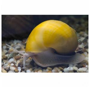 Ampularia Amarela