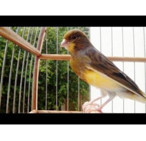 Pássaro Canário Belga
