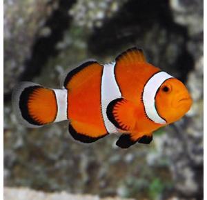 Peixe Palhaço Ocellaris Ph 8.3