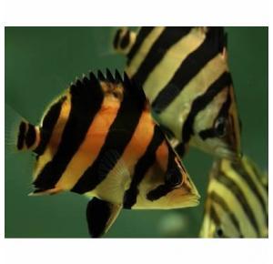 Peixe Datnioides