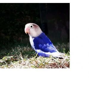 Pássaro Agapornis  Personata  Violeta