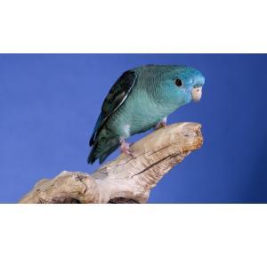 Pássaro Katarina Azul Cobalto