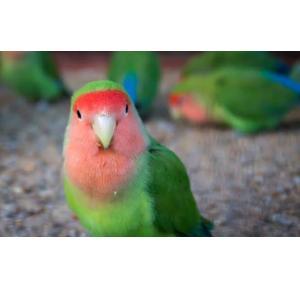 Pássaro Agapornis Roseicollis (manso)