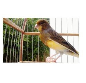 Pássaro Canário Belga (Macho Estourado)
