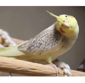 Pássaro Calopsita