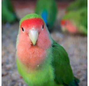 Pássaro Agapornis Roseicollis Manso