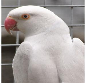 Pássaro Ring Neck Albino Macho