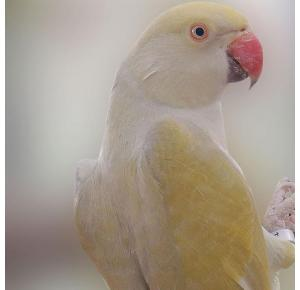 Pássaro Ring Neck Silver Turquesa