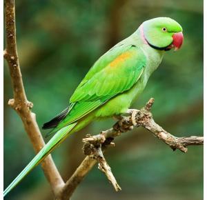 Pássaro Ring Neck Verde