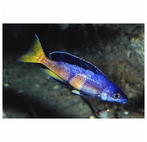 Ciprichromis Leptosoma (Kitumba)