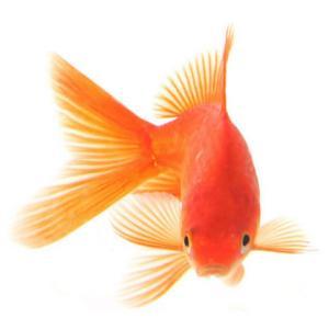 Peixe Japonês Pequeno