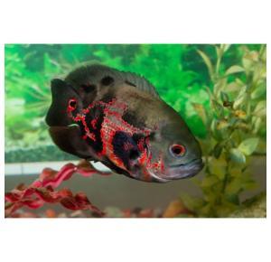Peixe Oscar Pequeno