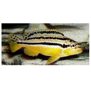 Peixe Auratus Pequeno