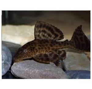 Peixe Cascudo Grande Matriz