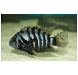 Peixe Acara Do Congo Pequeno