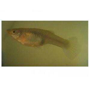 Peixe Guppy Fêmea