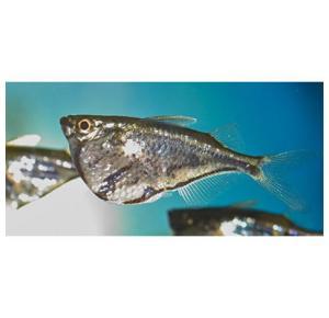 Peixe Borboleta Strigada