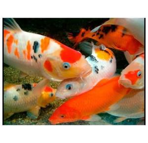 Peixe Carpa Medio/Grande