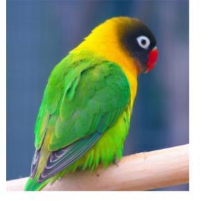Pássaro Agapornis Personata