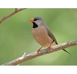 Pássaro Bavete