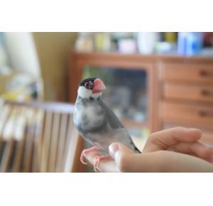 Pássaro Calafate (Alerquim)