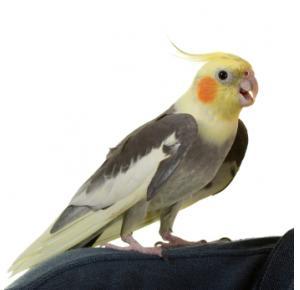 Pássaro Calopsita Arlequim
