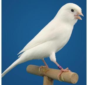 Pássaro Canário Belga branco (Fêmea)