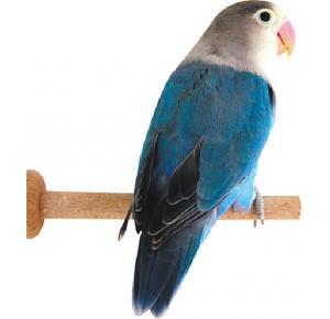 Pássaro Agapornis  Personata Azul Cobalta