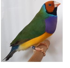 Pássaro Diamante Gould