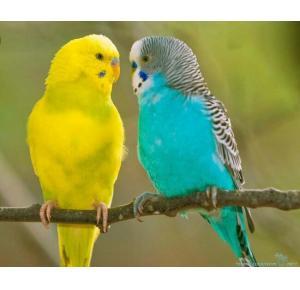 Pássaro Periquito Australiano