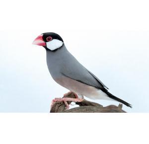 Pássaro Calafate