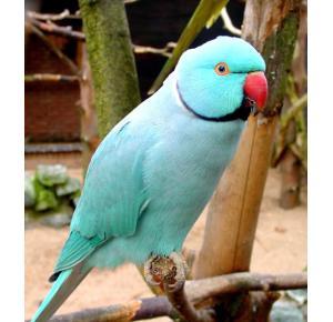 Pássaro Ring Neck Blue Turquesa
