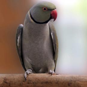 Pássaro Ring Neck Cinza Canela