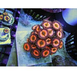 Coral Polipos Infusion Rainbow