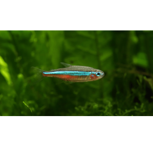 Peixe Tetra NEON 2 A 3 cm